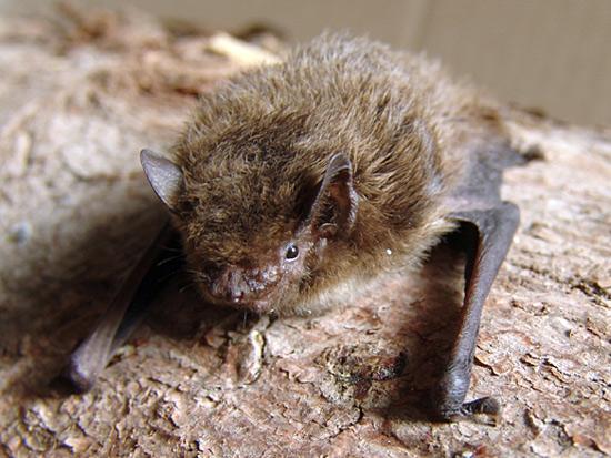 Une pipistrelle