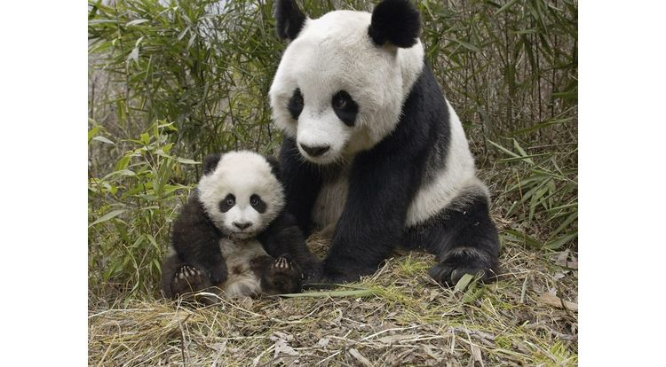 giant-panda-mother-and-cub-molong-nature-reserve-china-pictures