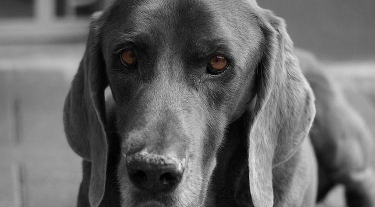 chien braque
