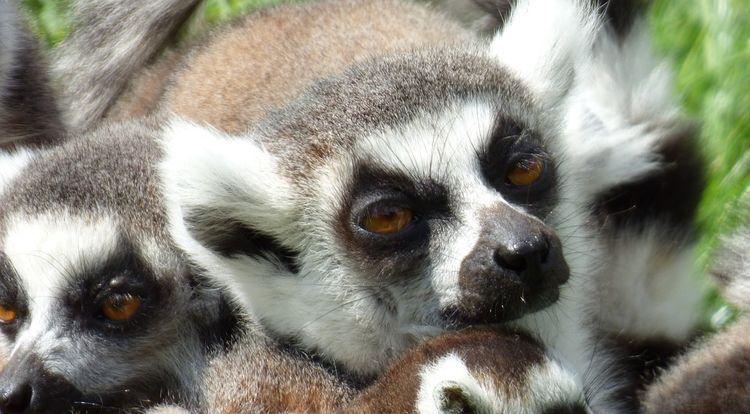 lemurien1
